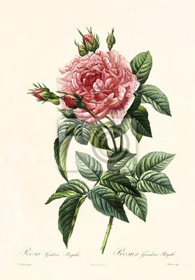 Poster Alte Abbildung von Rosa gallica regalis. Erstellt von PR Redoute, veröffentlicht auf Les Roses, Imp. Firmin Didot, Paris, 1817-24