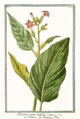Poster Alte botanische Illustration von Nicotiana Major (Nicotiana tabacum). Von G. Bonelli über Hortus Romanus, publ. N. Martelli, Rom, 1772 - 93