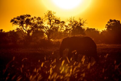 Amazing elephant silhouette in the sunset in the Chobe National Park in Botswana, Africa