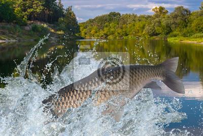 Amur Gras Karpfen Fische Springen Mit Spritzwasser Im Wasser