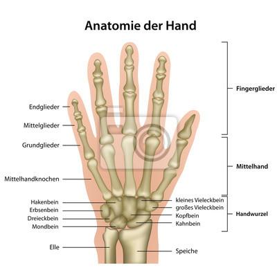Anatomie der hand mit erläuterung, deutsch wandposter • poster ...
