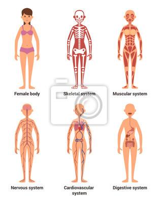 Anatomie der weiblichen. vektor-illustration von nerven und ...