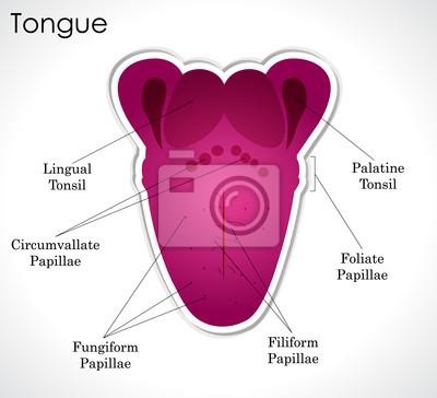 Anatomie des menschlichen zunge wandposter • poster Orgel, Zone ...