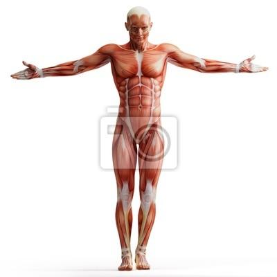Anatomie, muskeln wandposter • poster anatomisch, Muskulatur ...