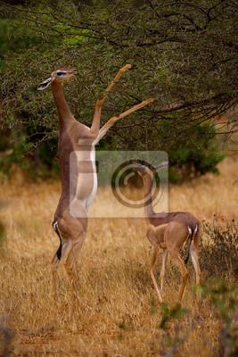 Antelope der Suche nach Nahrung