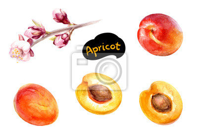 Poster Aprikosenfrucht mit Blumenaquarell.