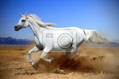 arabisches Pferd läuft Galopp im Staub der Wüste