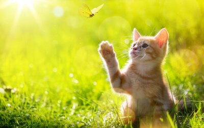 Poster art Young cat / kitten hunting a butterfly with Back Lit