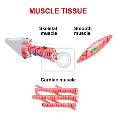 Arten von muskelgewebe wandposter • poster medicals, Zusammenziehung ...