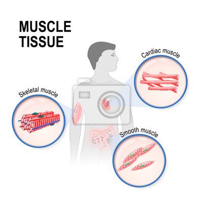 Arten von muskelgewebe wandposter • poster Myokard, medicals ...