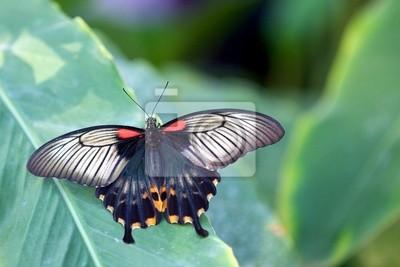 Asian Schwalbenschwanz-Schmetterling