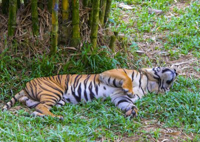 Poster Asiatischen Tiger.