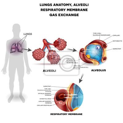 Atemwege, lunge und alveolen. atmungsmembran aus alveolus ...