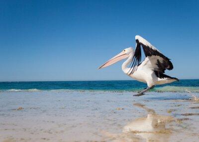 Poster Australien, Yanchep Lagoon, 18.04.2013, Australian Pelican Start in Flug von einem australischen Strand