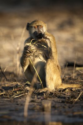 Baboon eating in afternoon light.