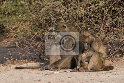 Baboon Familienzeit