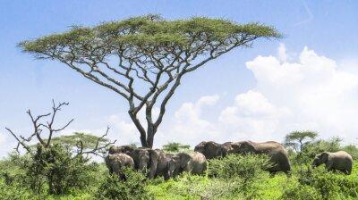 Poster Baby Elefanten Aufholen mit seiner Herde von Elefanten, die unter einem Akazienbaum auf der Serengeti Savannah Landschaft