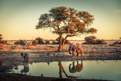 Poster Baby elephant at a waterhole, in Etosha National Park, Namibia, Africa