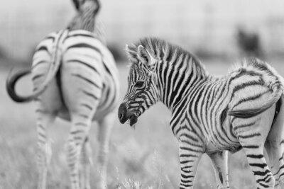 Poster Baby-Zebra