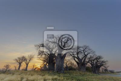 Baines Baobabs bei Sonnenaufgang