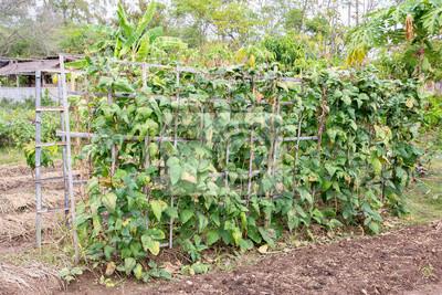 Bambus Laube Mit Kriechpflanzen Linsen Pflanze Im Feld Bambus
