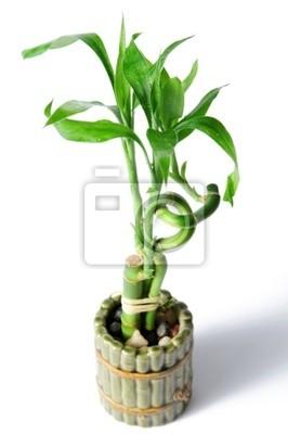 Bambus Pflanze Und Topf Isoliert Uber Einem Weissen Hintergrund
