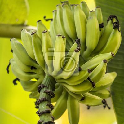 Banana Bunch auf Baum