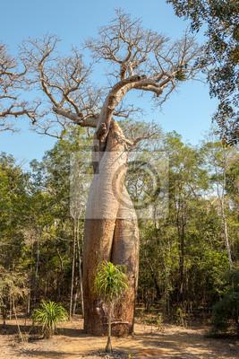 Baobab-Liebhaber - Amoureux