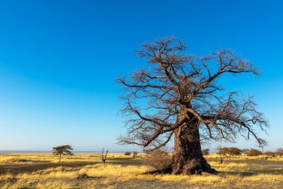 Baobab tree and dry grass on Kukonje Island