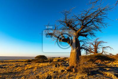 Baobab tree in golden early morning light