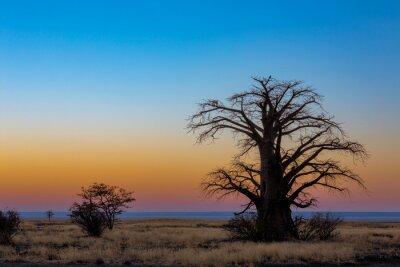 Baobab tree on Kukonje Island in Sua Pan