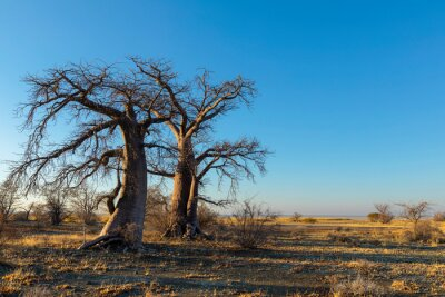 Baobab trees in winter on Kukonje Island