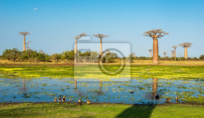 Baobab trees with lake near Morondava