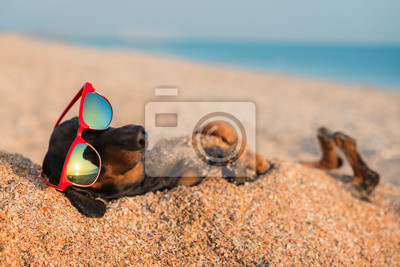 Poster beautiful dog of dachshund, black and tan, buried in the sand at the beach sea on summer vacation holidays, wearing red sunglasses