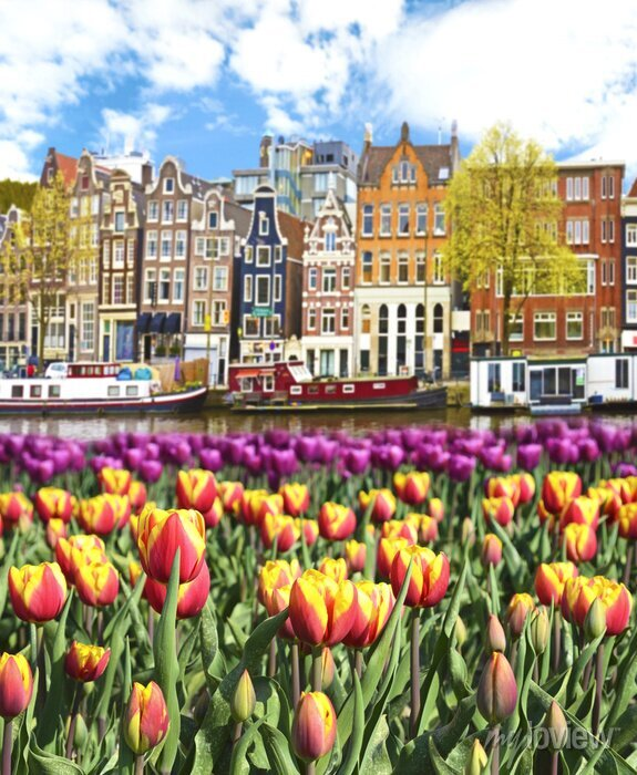 Poster Beautiful landscape with tulips and houses in Amsterdam, Holland