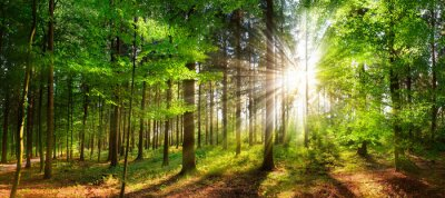 Poster Beautiful rays of sunlight in a green forest