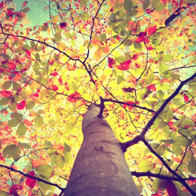 Poster Beautiful vintage autumn seasonal sun shining through the colorful beech leaves tree. Look-up to the crown of sunny autumn trees.