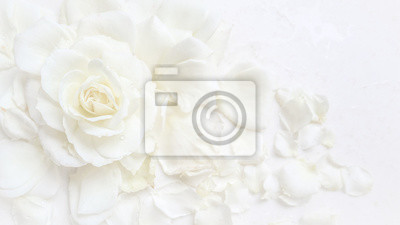 Poster Beautiful white rose and petals on white background. Ideal for greeting cards for wedding, birthday, Valentine's Day, Mother's Day