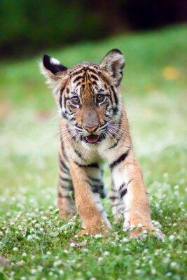 Poster Bengal-Baby-Tiger geht über eine Wiese.