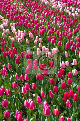 Bereich der Tulpen