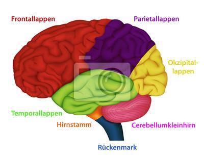 Bereiches des menschlichen gehirns wandposter • poster Neurologie ...