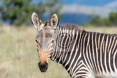 Berg Zebra Blick in die Kamera