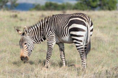 Poster Berg Zebra Weiden