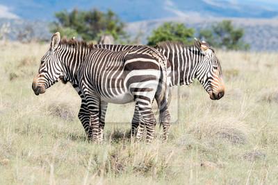 Berg Zebra Weiden