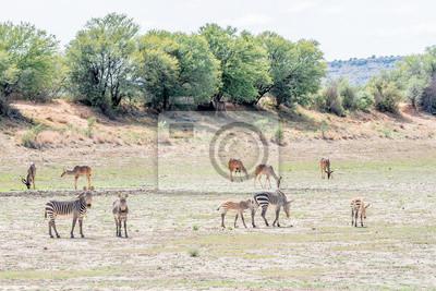 Berg Zebras mit größeren Kudus grasen