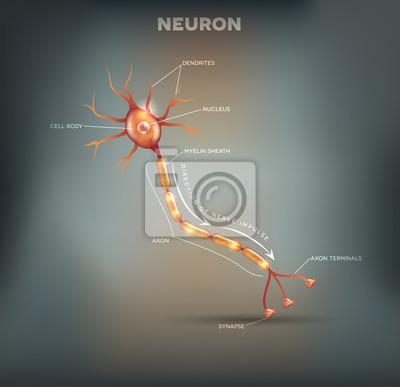 Beschriftetes diagramm des neurons, nervenzelle, die der hauptteil ...