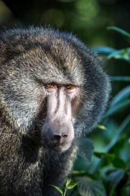 Beuatiful baboon portrait in Africa