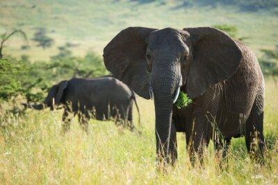 Poster Big afrikanischen Elefanten im Serengeti Nationalpark