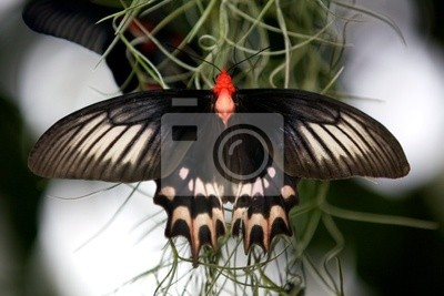 Big Billy Schmetterling (atrophaneura semperi)