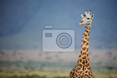 Big male Giraffe against a blue mountain